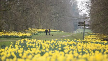 Nowton Park turns a sea of yellow with thousands of daffodils flowering. Picture: GREGG BROWN