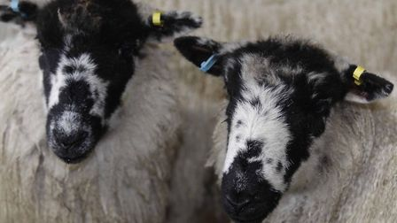Police are warning farmers and people living near sheep to be vigilant (file image). Picture: NIGEL