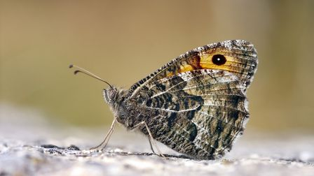 Grayling butterflies, found on Suffolk coastal heaths and in the Brecks, suffered in 2017's poor wea