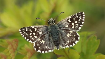 Grizzled skipper struggled nationally in 2017 - it is, at best, extremely rare in Suffolk. Picture: