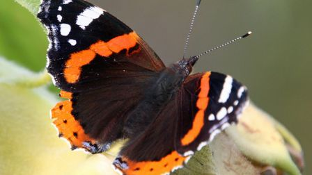 Red admirals increased in 2017 by 78% over their 2016 numbers. Picture: DAVID LAMMING