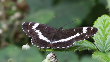 White admirals bounced back in 2017, a new report shows. The species is being seen with increasing f
