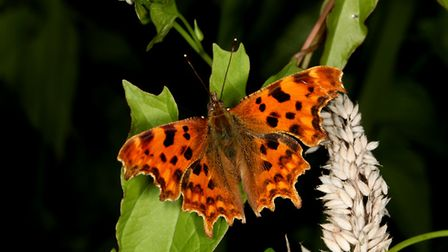 Commas increased by 91% nationally in 2017 in comparison with their 2016 numbers. Picture: ROBERT Mc