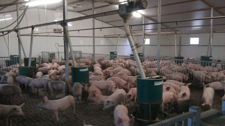 Indoor pigs whose health status, weight and conditions such as unit temperature can be monitored and