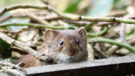 Victor the Vole. Picture: JULIE KEMP