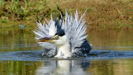 Heron cleaning his feathers. Picture: APRIL URQUHART