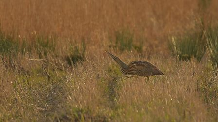 The American bittern stealthily struts through marshland at Carlton Marshes. Picture: GAVIN DURRANT