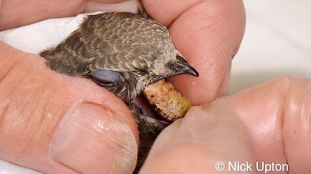 Feeding time for a young swift chick Pic: Nick Upton