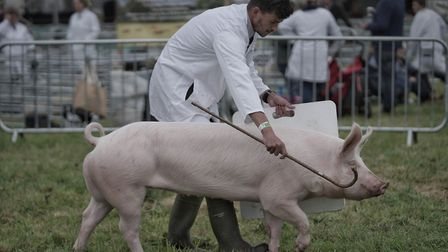 An entry in the pig section at the South Suffolk Show held at Ampton Racecourse near Ingham. Picture