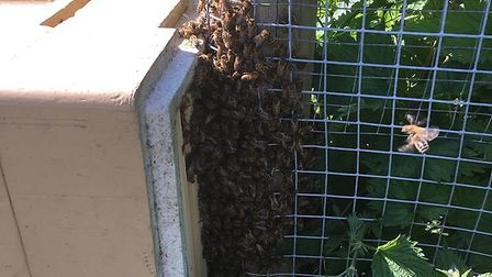 The bees were coaxed into a temporary hive, before being driven back to Colchester. Picture: DANIEL
