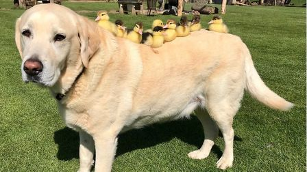 Ducklings getting a ride on Fred the Labrador's back at Mountfitchet Castle, Stansted Picture: JEREM