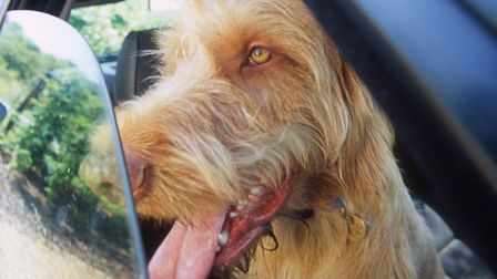 A Hungarian wire-haired Vizsla, panting in a car with the window open. Picture: ANDREW FORSYTH/RSPCA