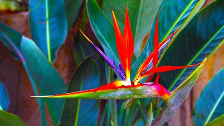 A bird of paradise plant. Picture: MICK WEBB