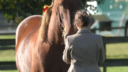 The noble Suffolk horse. Picture: SARAH LUCY BROWN