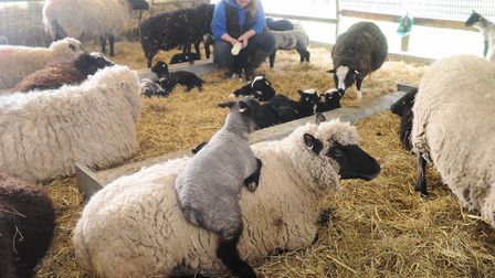 Baylham House rare breeds farm will hold its sheep shearing festival on Monday, and will be open all
