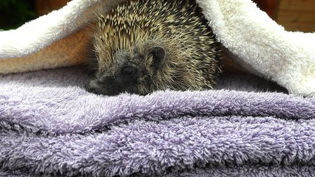 Is this soiny creature at the hedgehog rescue centre in Hellesdon celebrating Towel Day? Picture: S