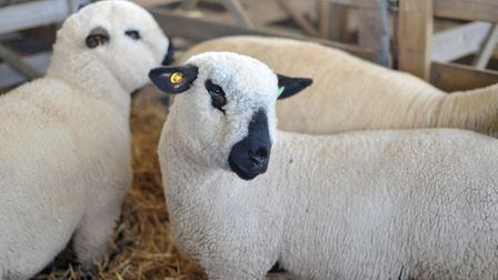 Sheep arrive ready for the show Picture: SARAH LUCY BROWN