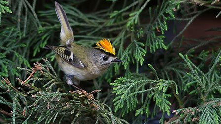 A goldcrest in Thetford Forest. Picture: DAVID KENWRIGHT
