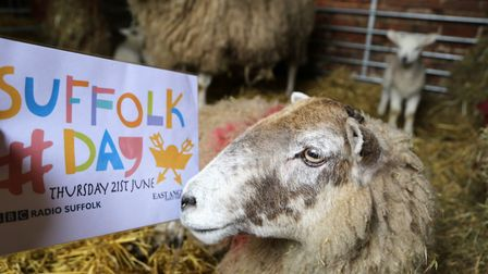 A sheep at Easton Farm Park looking at the Suffolk Day logo. Picture: JULIAN EVANS