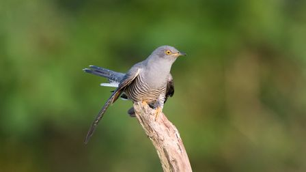 Cuckoo - Cuculus canorus PICTURE: BTO/Chris Knights