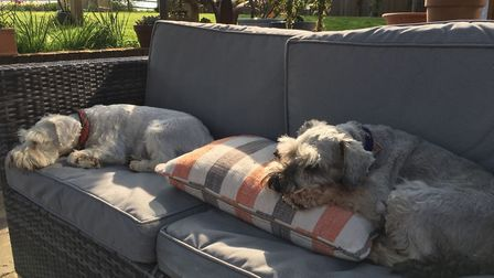 Miniature schnauzer's taking a snooze ahead of the #LetDogsLie competition Picture: SUFFOLK COMMUNIT