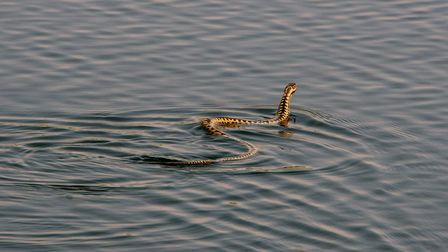 Swimming adder at Hickling Broad Picture: Don Cuddon