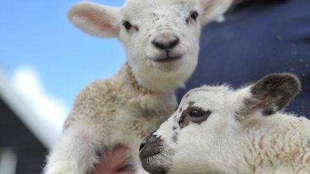Six lambs have been stolen (stock image) Picture: SARAH LUCY BROWN