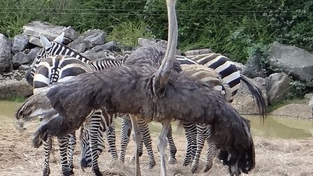 An ostrich has been spotted in Clacton (stock image) Picture: PAMELA BIDWELL