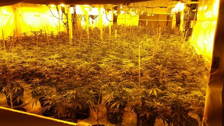 More than 1,700 cannabis plants were seized by officers Picture: ESSEX POLICE