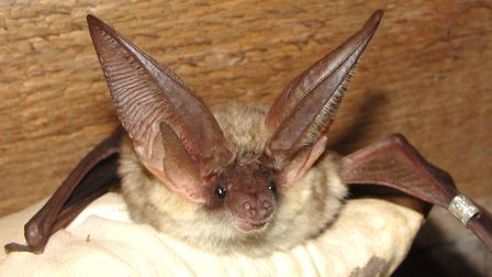 Grey long-eared bats in the UK face severe threats to their survival according to the latest study b