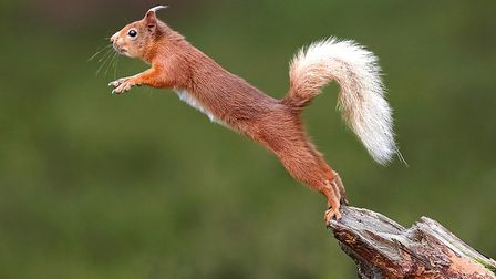 Red squirrels are also endangered. Photo: Austin Thomas/PA Wire