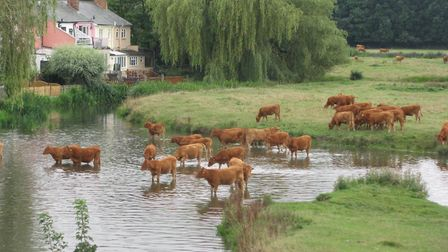 Cattle at Sudbury water meadows Picture: ANGIE JONES