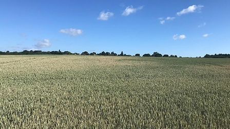 Bill Baker's wheat crop near Bury St Edmunds during the dry spell Picture: BILL BAKER