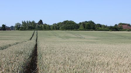 The wheat crop under pressure due to dry conditions at Andrew Fairs' farm at Great Tey, Colchester P