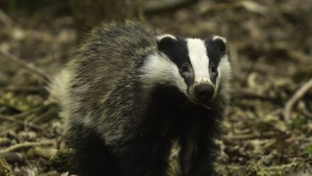 Badger cub with worm