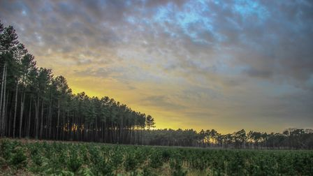 Thetford Forest. Picture: MARK HUNTER