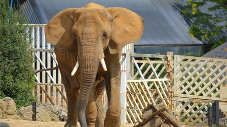 Elephant at Colchester Zoo. Picture: PAUL BURNS