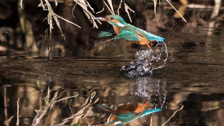 A kingfisher at holywells park Ipswich - East Anglian runner up in the national Picnic Week best pic