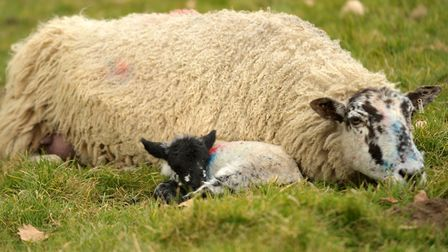 Lamb with its mum at Ickworth Park. Picture: SARAH LUCY BROWN