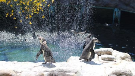 Penguins around the sprinklers Picture: COLCHESTER ZOO STAFF