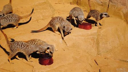 Meerkats having some refreshing ice blocks Picture: COLCHESTER ZOO STAFF