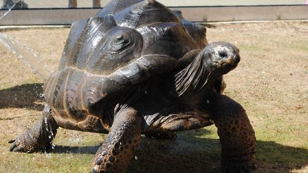 Tortoise enjoying the cool water Picture: COLCHESTER ZOO STAFF