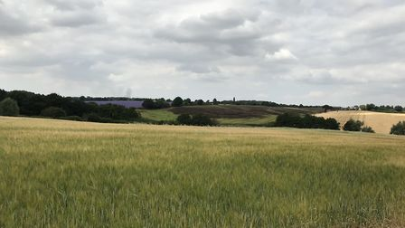 A barley field at Andrew Fairs' farm at Great Tey during the heatwave. Purple echium, top left, is c