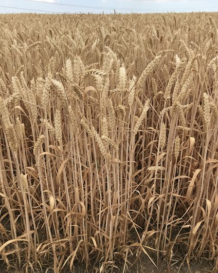 A wheat field at Andrew Fairs' farm at Great Tey which is hardening off, ready to be harvested. Pic