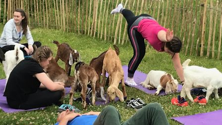 What it's like to do goat yogo. Picture: GOAT YOGA