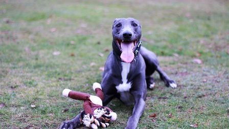 Blue the four-year-old Lurcher Picture: RSPCA SUFFOLK EAST AND IPSWICH