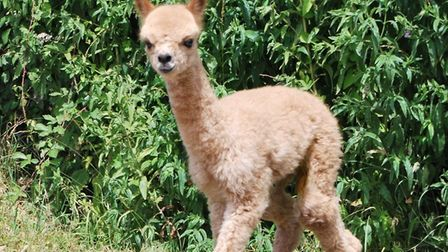 Paul and Jude Rylott of Melford Green Alpacas, based at Darsham Old Hall, near Southwold, have welco