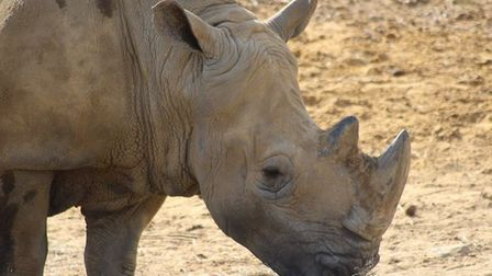 White rhino flossy has died Picture: COLCHESTER ZOO