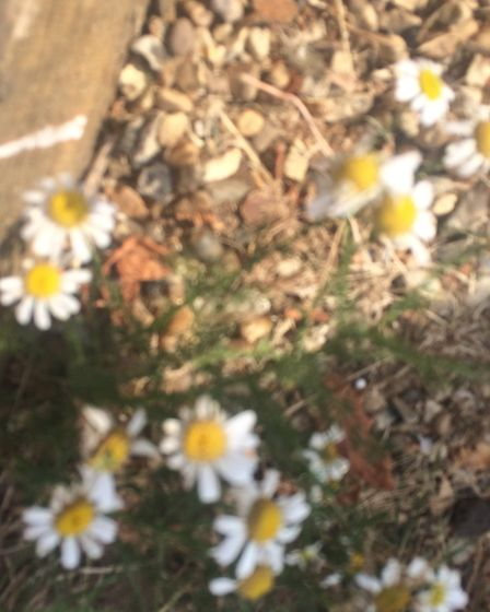Chamomile - The chamomile tea you buy in the shops is with dehydrated chamomile, but you can just ad