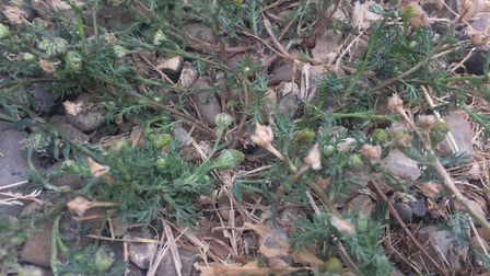 Pineapple weed - this plant grows everywhere as a weed, and lives up to its name as it really does t